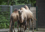 Front View of Bactrian Camel