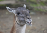 Front View of Llama's Head