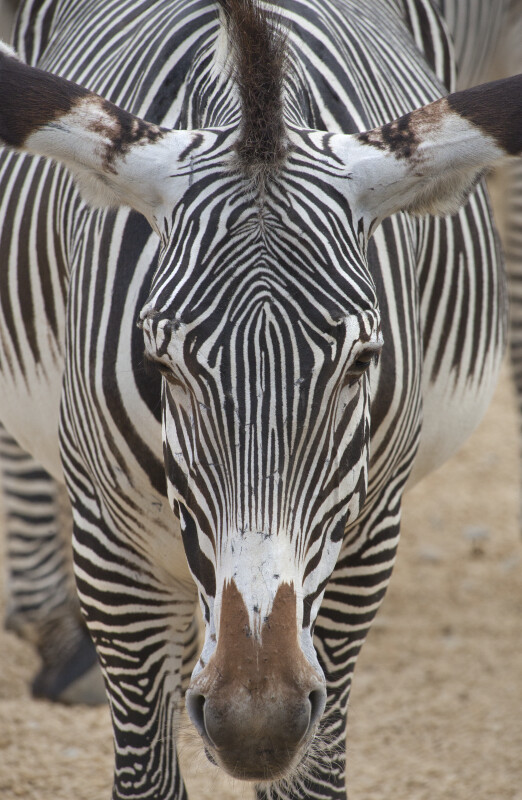Front View of the Head of a Grevy's Zebra