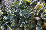 Frosted Green Leaves of an English Ivy Plant
