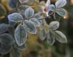 Frosted Leaves of a Rose Plant