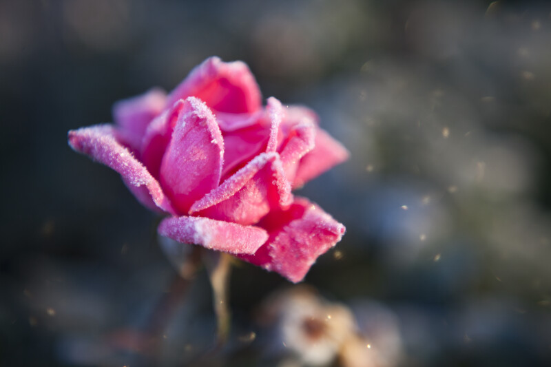 Frosted Petals of Pink Rose Flower