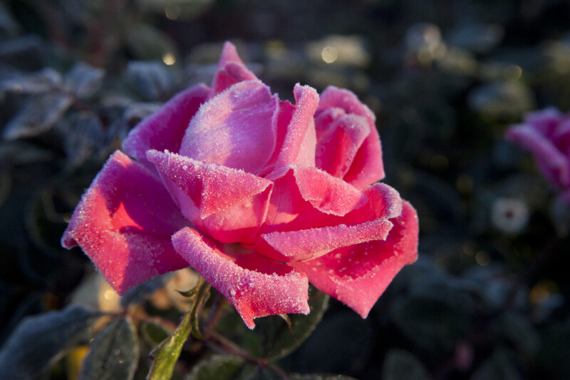 Frosted, Pink Rose Flower with Soft Sunlight Shining Upon it