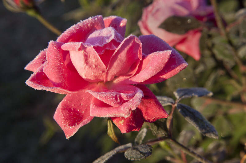 Frosted Pink Rose Flower