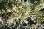 Frosty Bladderpod Close-Up