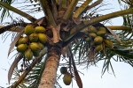 Fruit and Branches of a Coconut Palm