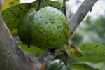 Fruit of a Guava Tree