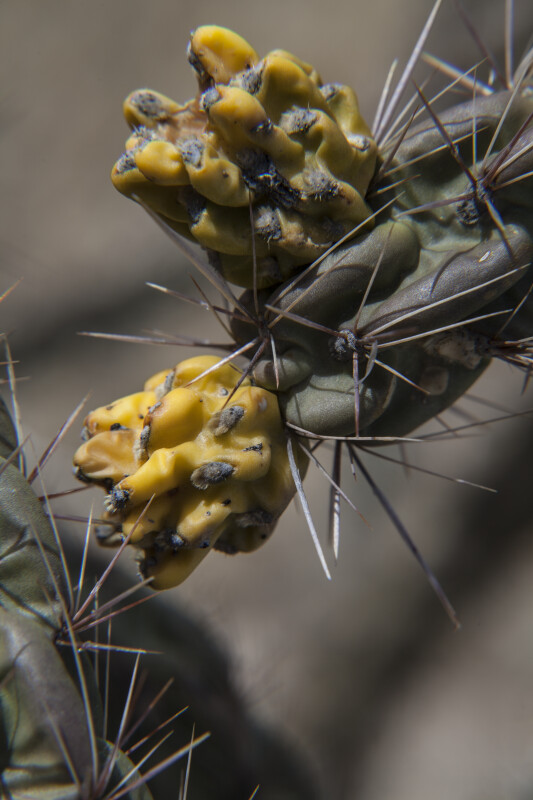 Fruit of the Walkingstick Cholla