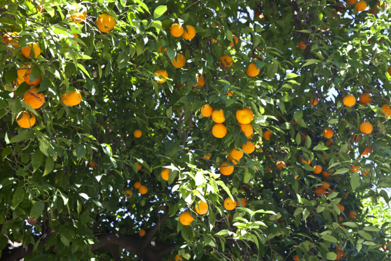 Fruiting Valencia Orange Tree at Capitol Park in Sacramento