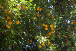 Fruits and Leaves of a Valencia Orange Tree