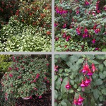 Fuchsias photographs