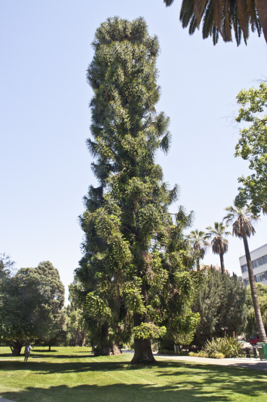 Full-View of a Bunya Pine Tree at Capitol Park in Sacramento