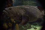 Full View of a Goliath Grouper