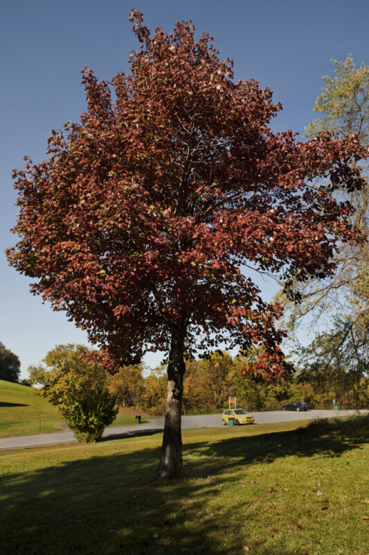 Full View of a Maple Tree at Boyce Park