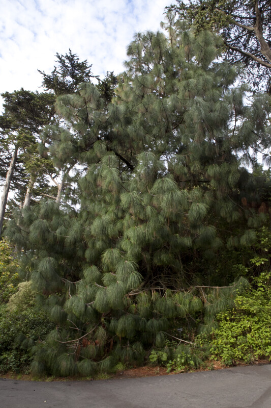 Full View of an Ocote Pine
