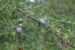 Funeral Cypress Branch with Leaves and Berries