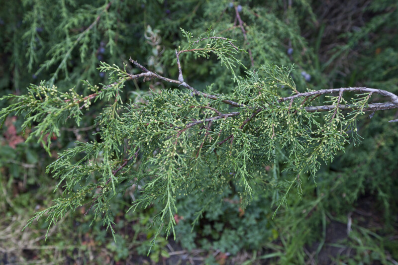 Funeral Cypress Leaves and Branch