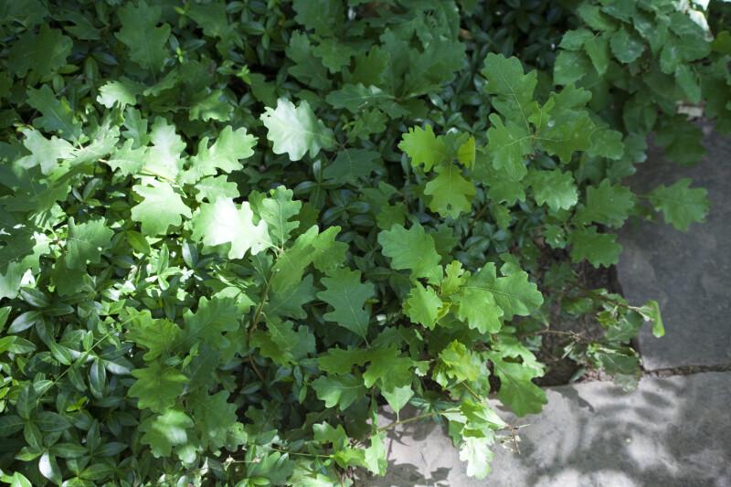 Gambel's Oak