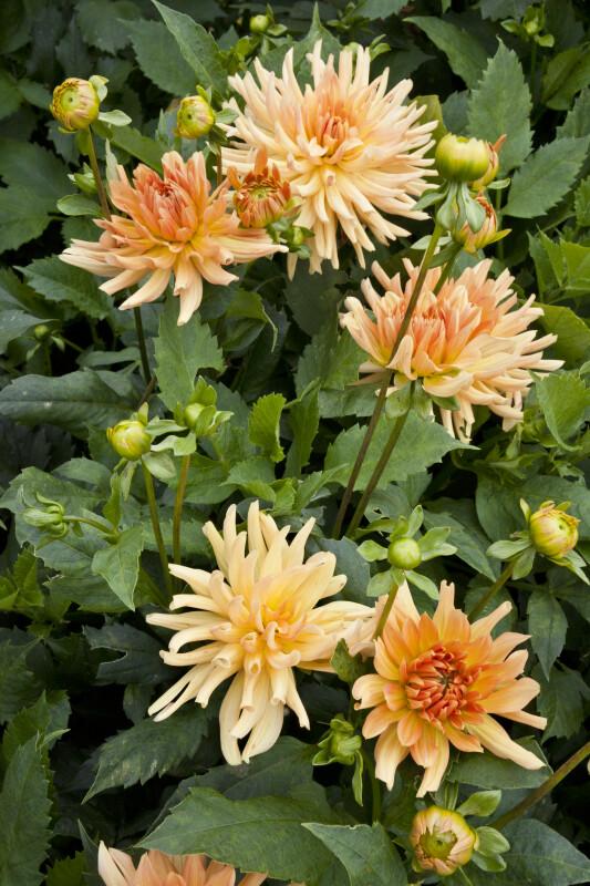 """""""Garden Party"""" Dahlia Plant"""