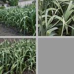 Garlic photographs