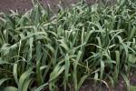 Garlic Plants at Old Economy Village