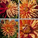Gatsby Dahlias photographs