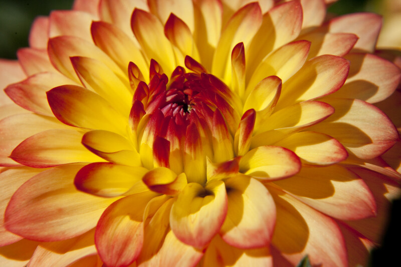 """Gazani"" Dahlia Close-Up"