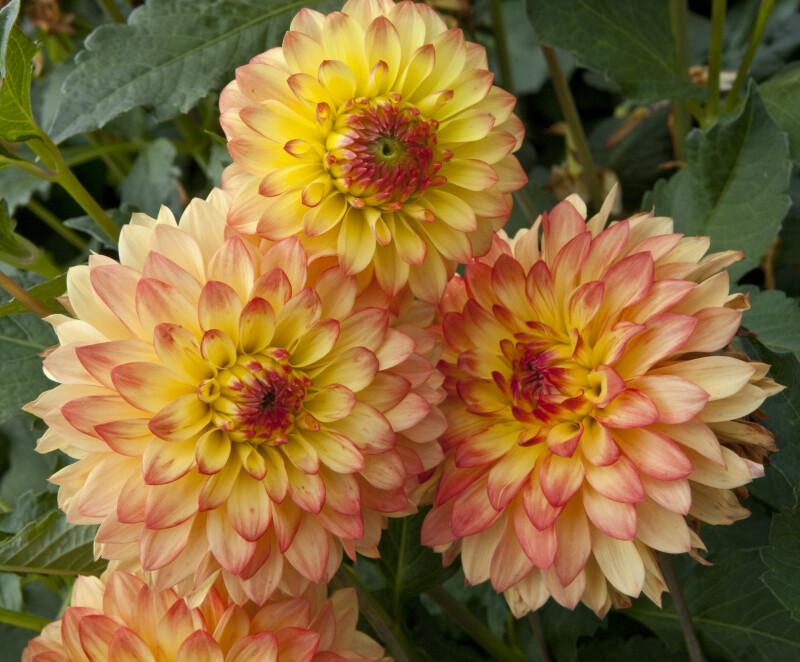 """""""Gazani"""" Dahlia Flowers"""