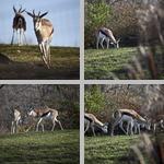 Gazelles photographs