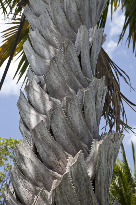 Gebang Palm Trunk