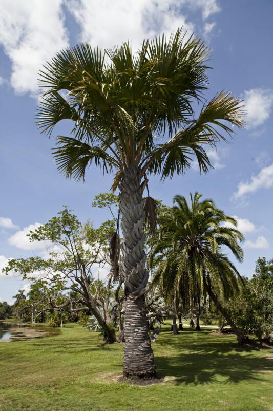 Gebang Palm