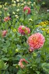 """""""Gelbe Giraffe"""" Hybrid Dahlia Flower"""