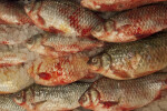 Geldon Fish