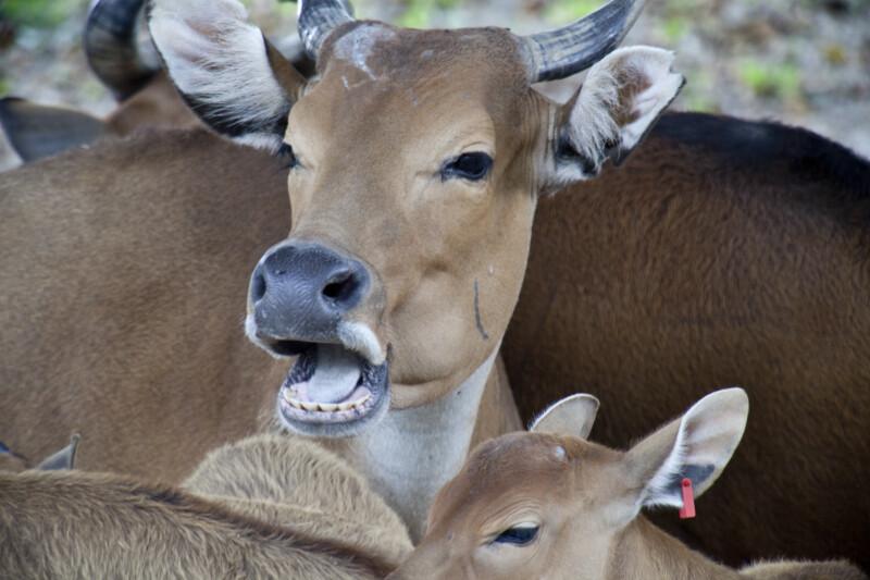 Gentang and Calf