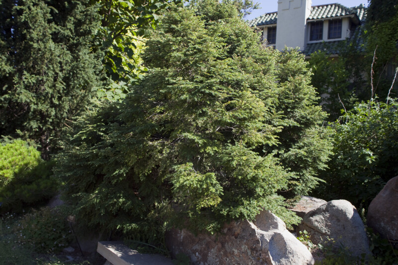 'Gentsch White' Eastern Hemlock Tree at the Denver Botanic Gardens