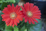 Gerbera Red Daisy