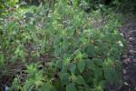 Gesneriad