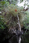 Giant Airplant at Halfway Creek in Everglades National Park
