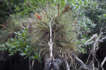 Giant Airplant Nestled in Branches of Tree