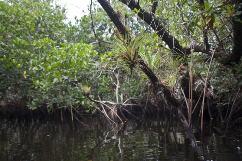 Giant Airplants Growing in Mangrove Branches