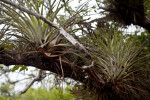 Giant Airplants in the Branches of a Tree