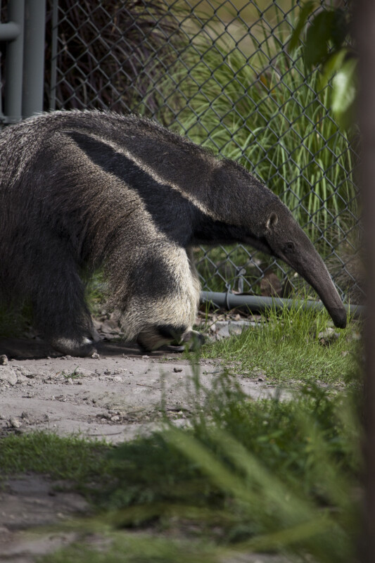 Giant Anteater and Fence
