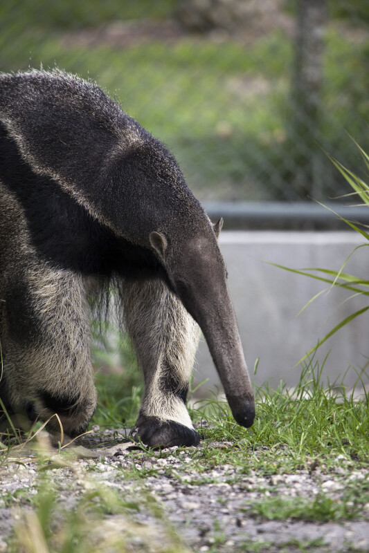 Giant Anteater Walking
