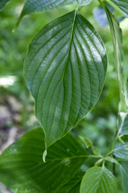 Giant Dogwood Leaf