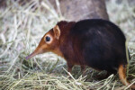 Giant Elephant Shrew