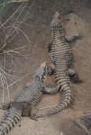 Giant Girdled Lizards