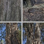 Giant Gum (Eucalyptus regnans) Trees photographs