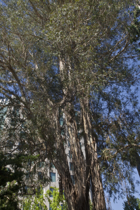 Giant Gum Tree at Capitol Park in Sacramento