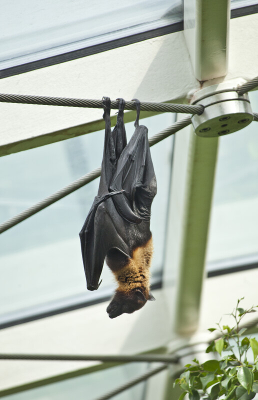 Giant Indian Flying Fox Hanging from Wire