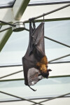 Giant Indian Flying Fox Hanging Upside Down